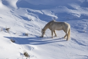 Palomino gelding grazes in snow at Flitner Ranch in Shell, WY