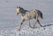 Leopard Appaloosa gelding trots in snow at Flitner Ranch in Shell, WY