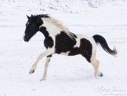 black and white saddlebred horse running in the snow at Flitner Ranch, Shell, WY
