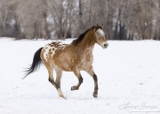 Flitner Ranch, Shell, WY, horses in winter, purebred appaloosa runs