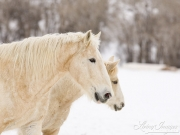 Flitner Ranch, Shell, WY, horses in winter, palomino draft horse and quarter horse