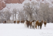 Flitner Ranch, Shell, WY, horses in winter, big group of horses runs in the snow
