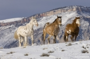 Flitner Ranch, Shell, WY, horses in winter, purebred appaloosa, purebred leopard appaloosa and purebred paint horse trot in the snow