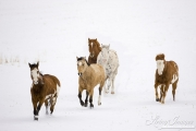 Flitner Ranch, Shell, WY, horses in winter, horses running in snow, two purebred quarter horses, two purebred paints and one purbred leopard appaloosa