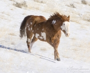 Flitner Ranch, Shell, WY, horses in winter,  purebred Paint  runs in snow