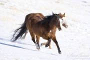 Flitner Ranch, Shell, WY, horses in winter, purebred Paint and purebred Quarter Horse run in snow