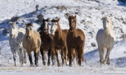 Flitner Ranch, Shell, WY, horses in winter, horses run in snow head on
