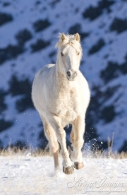 Flitner Ranch, Shell, WY, horses in winter, palomino runs in snow