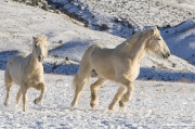 Flitner Ranch, Shell, WY, horses in winter, palomino draft horse and quarter horse run in snow