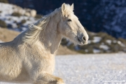 Flitner Ranch, Shell, WY, horses in winter, palomino draft horse runs in snow