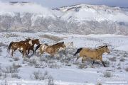 Flitner Ranch, Shell, WY, horses in winter, horses run in snow
