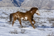 Flitner Ranch, Shell, WY, horses in winter,  purebred Paint running in the snow
