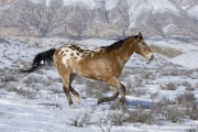 Flitner Ranch, Shell, WY, horses in winter, purebred appaloosa running in the snow