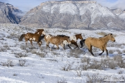 Flitner Ranch, Shell, WY, horses in winter, horses running in the snow