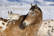Flitner Ranch, Shell, WY, horses in winter, two purebred appaloosas in the snow