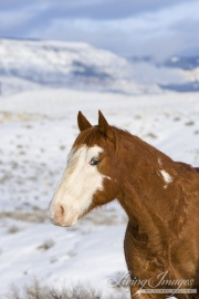 Flitner Ranch, Shell, WY, horses in winter, purebred Paint in the snow