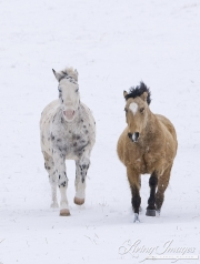 Flitner Ranch, Shell, WY, horses in winter, buckskin quarter horse and leaopard appaloosa running in the snow