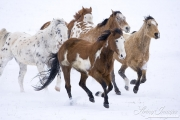 Flitner Ranch, Shell, WY, horses in winter, horses running in the snow, two purebred paints, two purebred appaloosas, two purebred quarter horses
