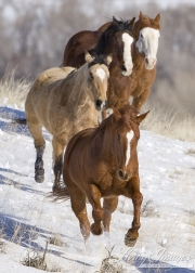 Flitner Ranch, Shell, WY, horses in winter, purebred bay, sorrel and buckskin quarter horses and purebred Paint running together in the snow
