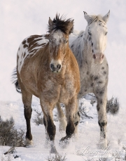Flitner Ranch, Shell, WY, horses in winter, purebred appaloosas run