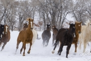 Horses run at Flitner Ranch in snow, Shell, WY