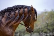 purebred Bay Andalusian stallion, Austin TX