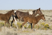 wild horses, mustangs in White Mountain, WY - pinto mare and two foals trotting