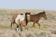 wild horses, mustangs in White Mountain, WY - pinto mare and foal