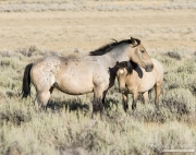 wild horse, mustang in White Mountain, WY - mare and foal
