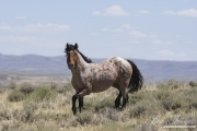wild horses, mustangs in White Mountain, WY - red roan stallion