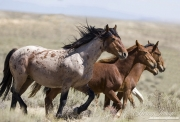 wild horses, mustangs in White Mountain, WY - red roan stallion and mares and foals