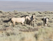 wild horses, mustangs in White Mountain, WY - two buckskin mares and buckskin foal