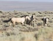 wild horses, mustangs in White Mountain, WY - two buckskin mares and buckskin foal