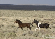 wild horses, mustangs in White Mountain, WY - pinto foal and bay foal trot