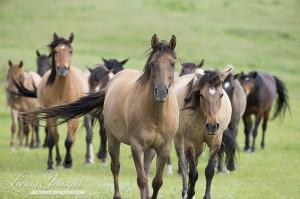 The Spanish Mustangs