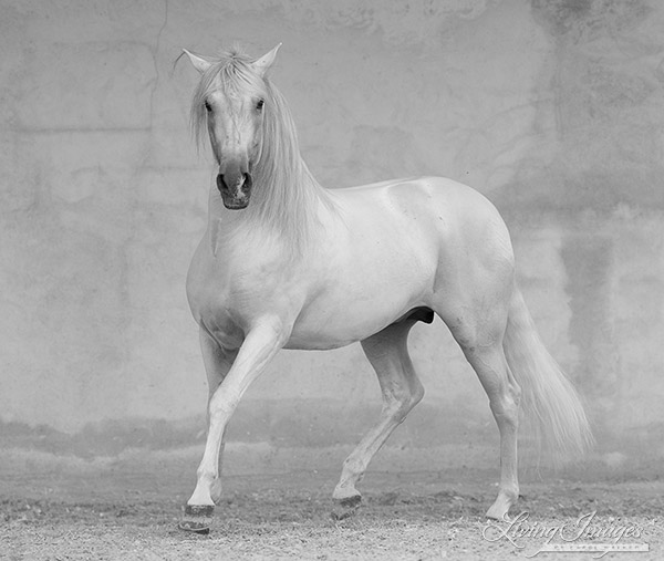 """""""Classical Spanish Stallion"""" in the art show"""