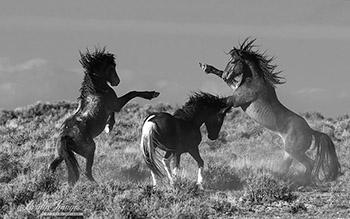 Two Stallions Challenge