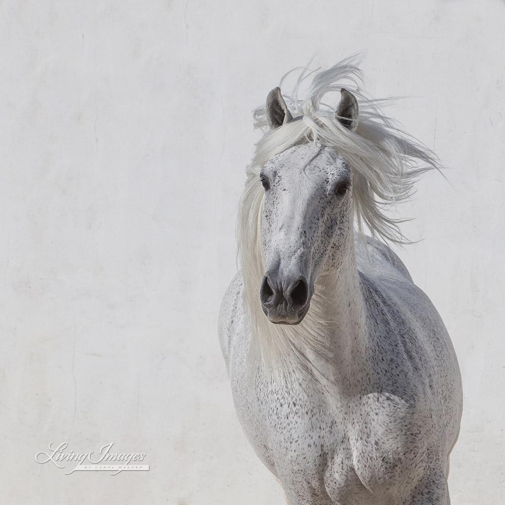 White Stallion Runs Up