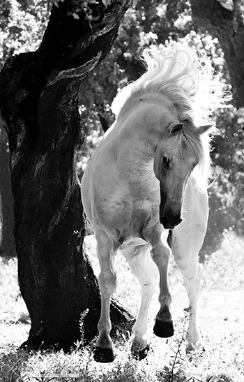 Stallion Dances