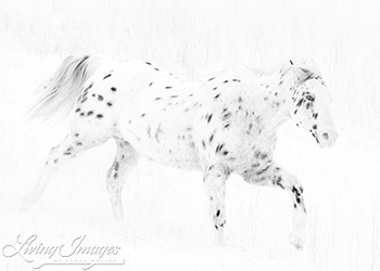 Flitner Ranch, Shell, WY, horses in winter, purebred leopard appaloosa runs in snow