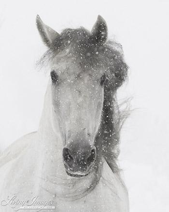 Snowy Mare