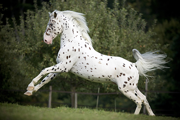 Knabstrup horse running