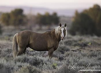 The Palomino stallion