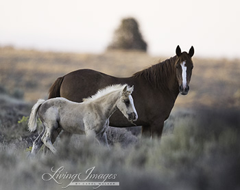 A sorrel mare and her buckskin foal