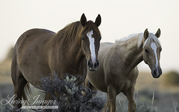 Mother and yearling Palomino